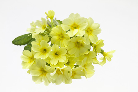 primula veris: Primula veris on white background