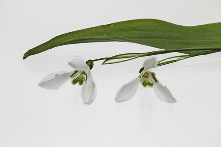 Galanthus nivalis on white background photo