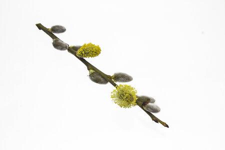 salix: Salix caprea on white background