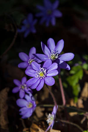 Hepatica nobilis photo