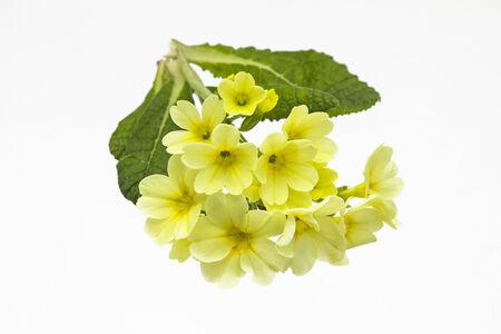 primula: Primula veris on white background