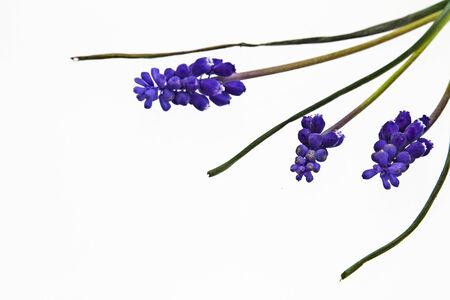 hyacinths: Grape hyacinths on white background Stock Photo