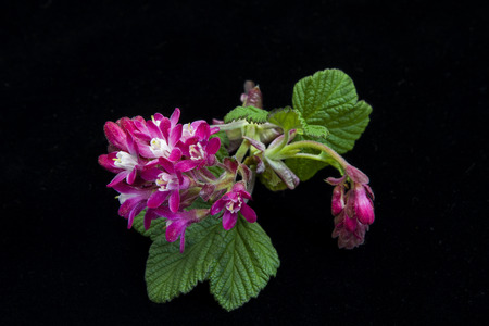 ribes:  Ribes sanguineum Stock Photo