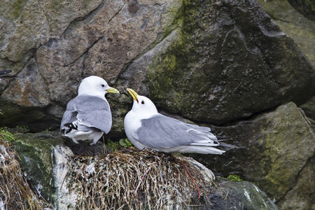 coo: Gulls during breeding in a Norwegian rock wall Stock Photo