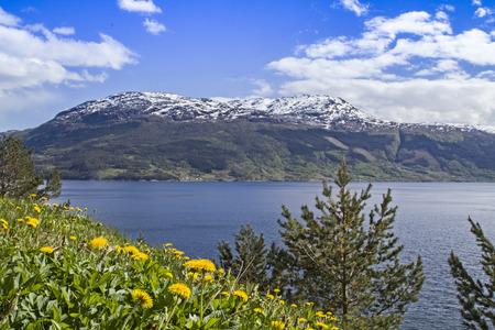 hardanger: Blooming dandelions shore line the Hardanger Fjord in Spring