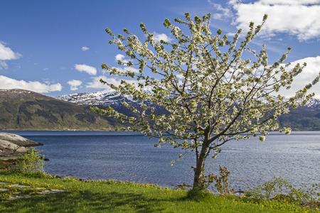 hardanger: Fruit Blossom by the Hardanger Fjord in Norway Stock Photo