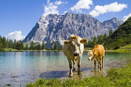 Cow with calf on a meadow at Seebensee lake in Tyrol photo