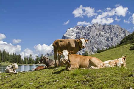 Cows with calf on a meadow at Seebensee lake in Tyrol photo