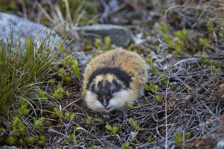 Lemmings are found  in many areas of Jotunheimen