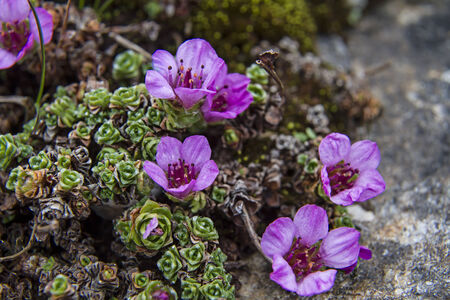 flor violeta: Florecimiento de musgo en suelo rocoso en el norte de Noruega