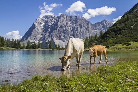 Cows on a meadow at Seebensee lake in Tyrol photo