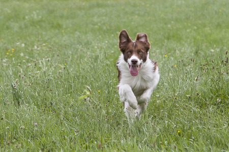Sommer: Bordercollie running on ameadow