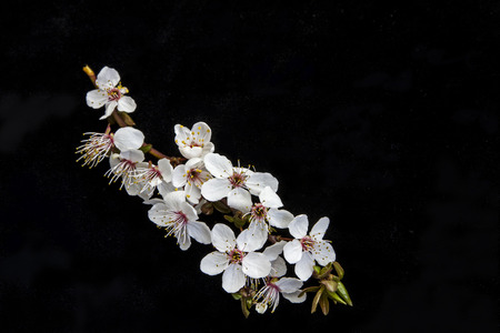prunus cerasifera: Prunus cerasifera before black background Stock Photo