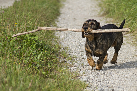 doxie: Doxie running on a narrow meadow path Stock Photo