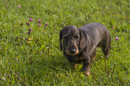 doxie: Doxie standing in a green meadow