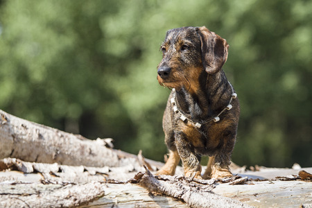 Doxie standing on a wooden tree trunk