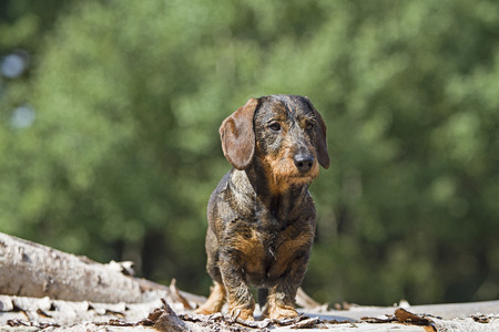 Doxie standing on a pile of wood