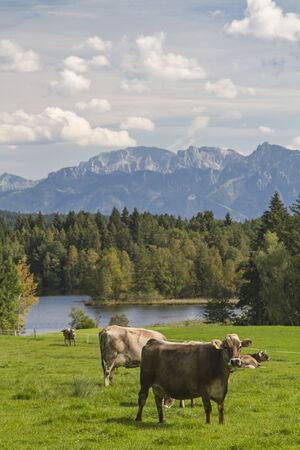 Cow on a meadow in Allgaeu landscape