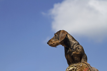 doxie: Doxie standing on a wooden tree trunk