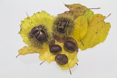 maroni: The chestnut is a delicious and popular fruit tree