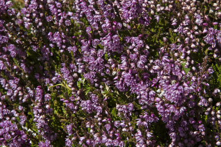 erica: Heather is to be found also in the high alpine heights of the Central Alps