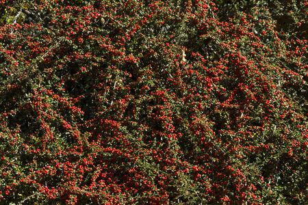 pip: cotoneaster - magnificent ground cover planting, Stock Photo