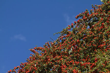 ground cover: cotoneaster - magnificent ground cover planting, Stock Photo