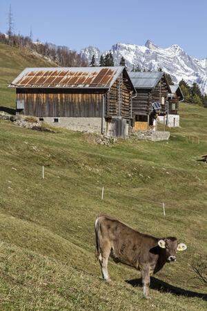 prato montagna: Mucca su un prato di montagna in valle di Medel,