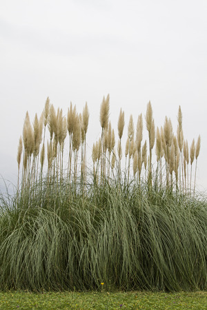 The American pampas grass is often used as an ornamental plant in parks and gardens