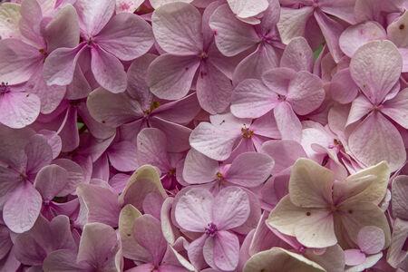 hydrangea macrophylla: Hydrangea macrophylla,  - purple flower in a park
