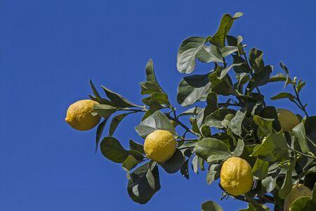 lemon tree: Vista detallada de un �rbol de lim�n contra el cielo azul