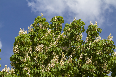 buckeye tree: Chestnut blossom in spring against a blue sky Stock Photo