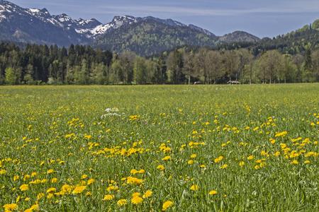Blühende Blumenwiese mit Benediktenwandgebirge im Frühling