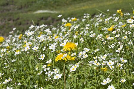 glarus: Meadow with buttercups and dandelions