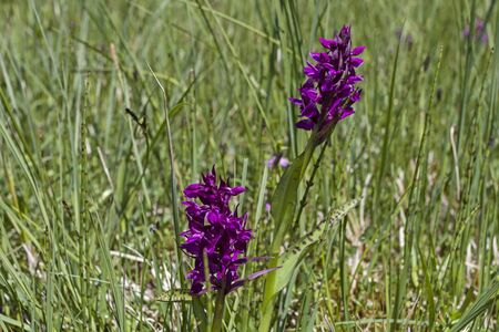 glarus: Dactylorhiza purpurella on a bog meadow in the Glarus Alps