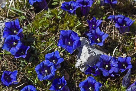 prato montagna: Stemless Genziana - Molti fiori di un fusto meno genziana su un prato di montagna
