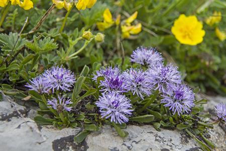 plantaginaceae: Globularia cordifolia  colonized the Swiss Alps, even in the high altitudes Stock Photo