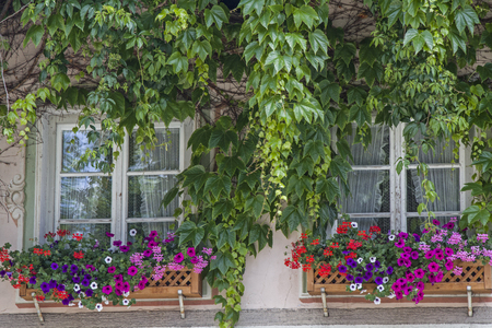 flower boxes: Two windows with flower boxes and climbing plants in Oberammergau Stock Photo