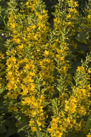 herbaceous plant: Myrsinoideae - herbaceous plant with yellow flowers