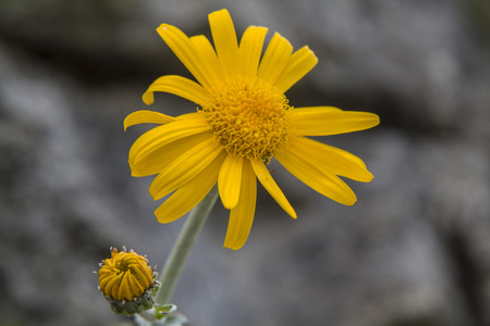 belongs: The True Arnica belongs to the daisy family and is a protected medicinal plant Stock Photo