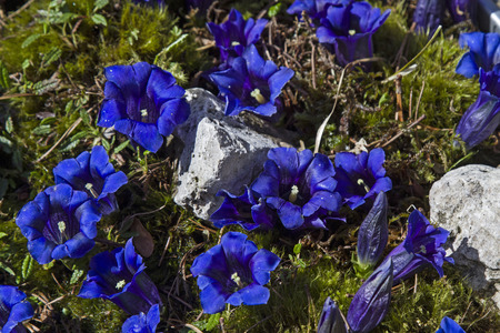gentian flower: Stemless Gentian - Many blossoms of a stem less gentian on a mountain meadow Stock Photo