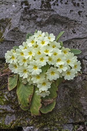 cowslip: Primula vulgaris or stemless cowslip belongs to the Primrose