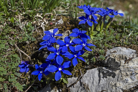 smallest: The Spring Gentian  called Gentiana Verna is also  one of the smallest gentians.