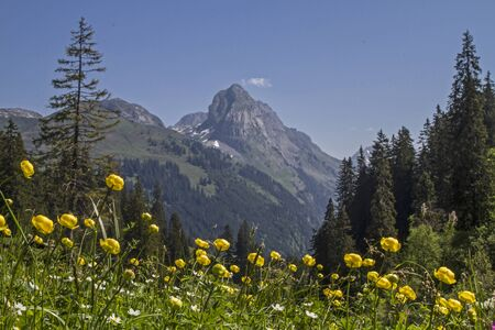 glarus: Meadow with Globeflowers in Koental valley in Switzerland Stock Photo