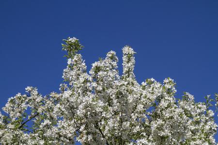 flower tree: Flowerage in spring - flowering ornamental apple tree Stock Photo