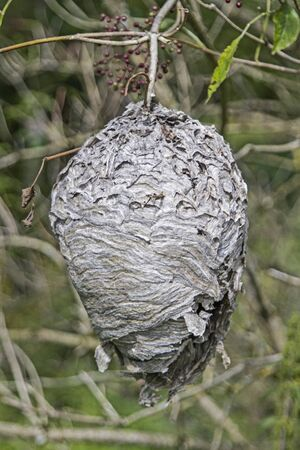 elder tree: Free-hanging wasp nest on a Elder tree