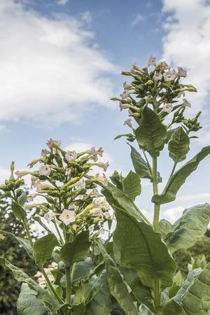 tobacco plant: Blossom of a tobacco plant