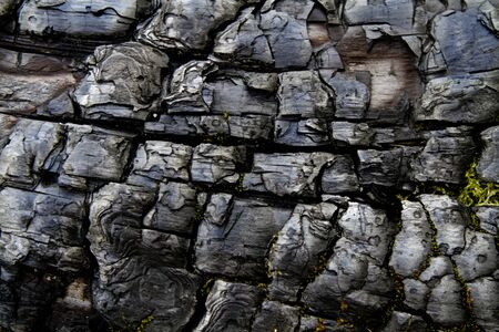 charred: Traces of burning on the bark of an old charred tree trunk