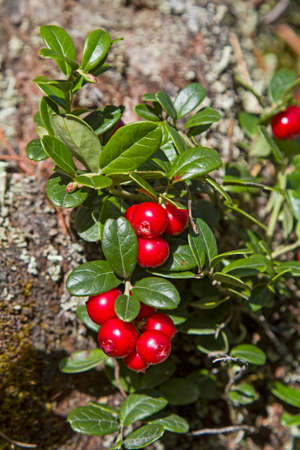 belongs: Cranberry - also called Vaccinium vitis-idaea belongs to the ericaceous Stock Photo
