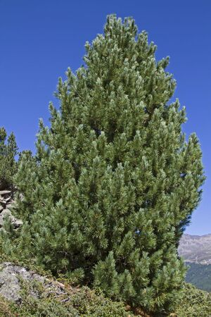 pinaceae: The Arve, also known as stone pine is at home in the high altitudes of the Alps
